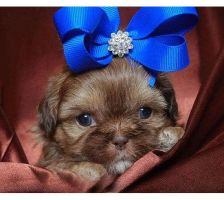 Brown Shih Tzu by XxTwilightVampirexX