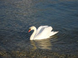 Swan by Noree-stock