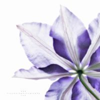 Ghost Clematis by TruemarkPhotography