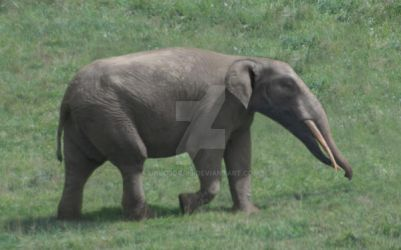 Gomphotherium angustidens by unlobogris