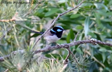 Male Superb Fairy-Wren by BreeSpawn