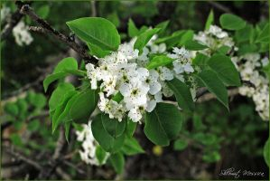 Syrian pear blooming by ShlomitMessica