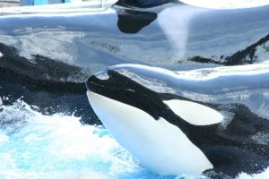 Killer Whales by Hallow2