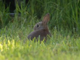 rabbit at camp 2 by wob86