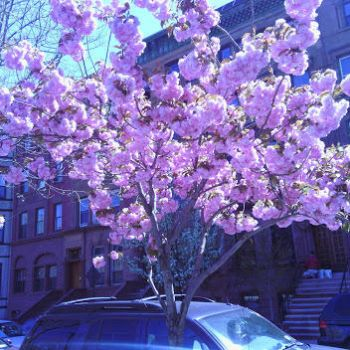 Blossoming Tree by Warpath07