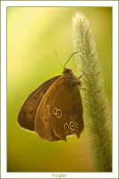 Ringlet butterfly by AngiWallace