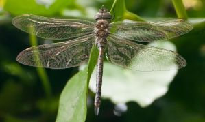 Dragonfly by Frostola