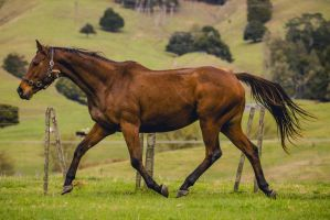 Bay Thoroughbred Mare Trot by DWDStock