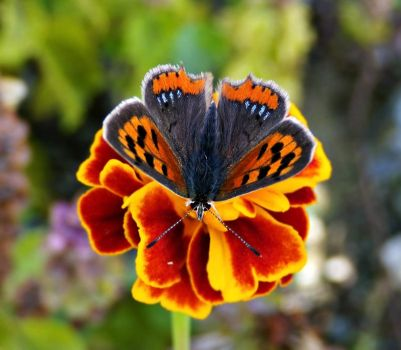 flower and butterfly by lisans
