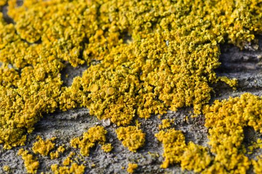 Yellow Lichen by Saxophlutist