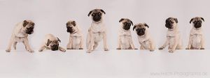 a table of Pugs by hecht