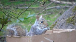 Grey squirrel eating inside box by Midnight-PowerUser