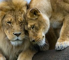 Lion Love by cliffr39