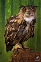 Taz the European Owl by Takarti