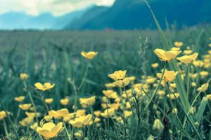 Yellow Meadow by dashakern