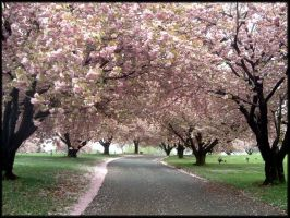 Cherry Blossoms III - 2008 by LindaLee