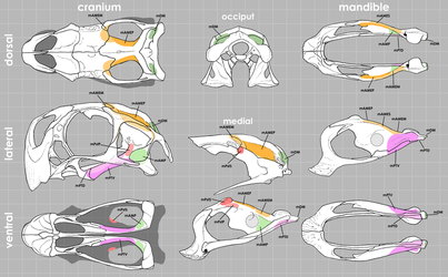 Conchoraptorine Skull Muscle Maps by Qilong