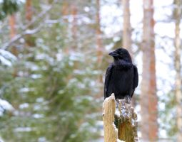 Raven, great bird. by KariLiimatainen