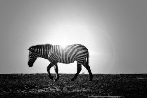 Zebra in Black and White by SingTheBodyElectric
