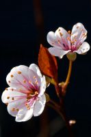 CHERRY_BLOSSOM_2 by My-he-art