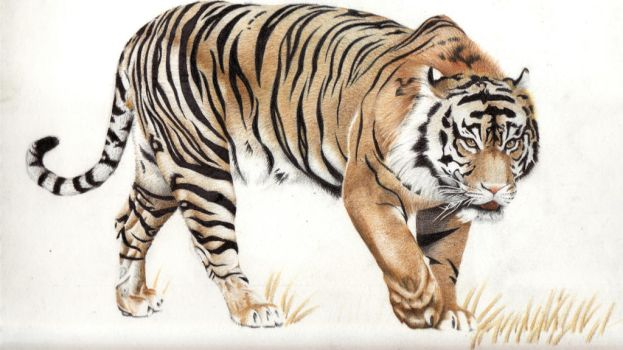 Tiger Colour Pencil by DMcAllister