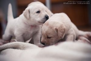 Labradogs by UbeiBobra