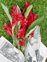 Plants: Red Ginger02 by nanagirl-stock