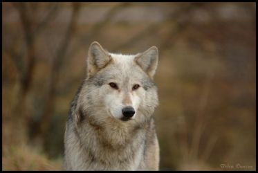 Male wolf front by Taseevo