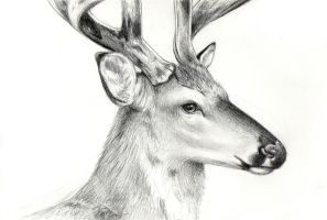 Deer Study by moth-eatn