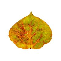 Brown Green Orange Red and Yellow Aspen Leaf 1 by AgustinGoba