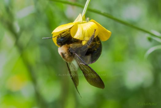 Buttercup Buzz by Alanamous
