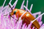 Soldier Beetle by ribbonworm