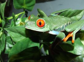 Red eye tree frog by ellemacstock