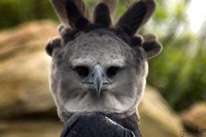 Harpy Eagle by ringtaillemur