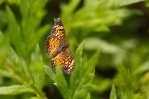 Pearl Crescent by BlackRoomPhoto