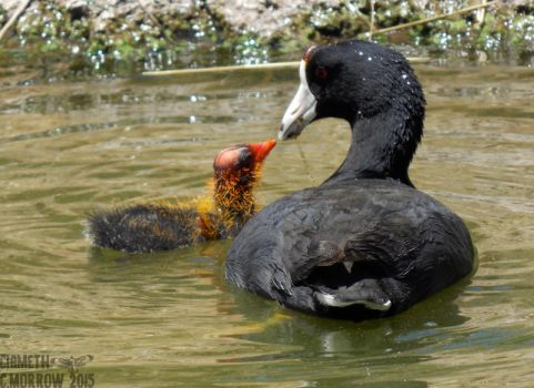 American Coot and Chick by Ciameth