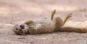 You made a funny! Mongoose ROFL! by jaffa-tamarin