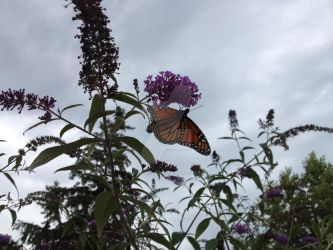 butterfly on bush by InexplicablyIris