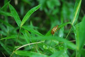 Photo: Young Cicada by gomimushi