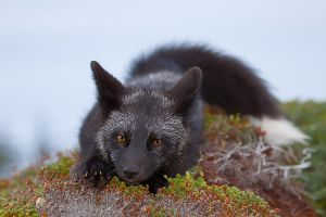 Young Black Fox in the Wild 2 by Witch-Dr-Tim