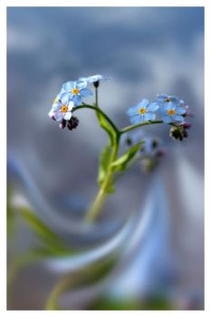 Forget me not in blue mood by Floriandra