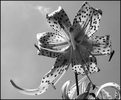 Tiger Lily in Black and White by LaLonde