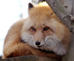 Red Fox Stock 5 by HOTNStock