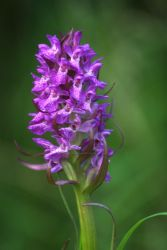 Pyramidal Orchid 1... by TheBaldingOne