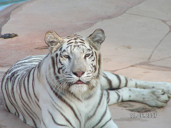 White Tigress 9 by UngesehenSoldatStock