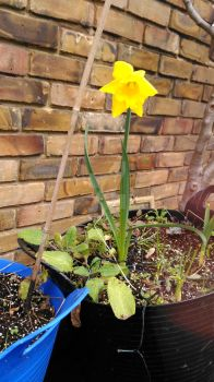 MY HOME GROWN DAFFODIL by LUSHMONTANAS