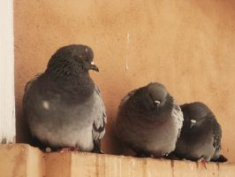 Pigeons-5 by IreneL