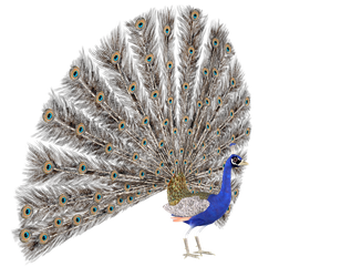 STOCK PNG peacock3 by MaureenOlder