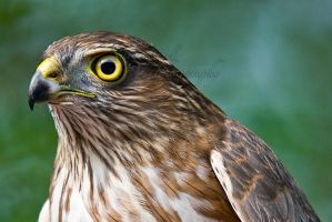 Sharp Shinned Hawk male by Sonny2005