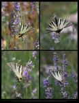 Scarce Swallowtail On Lavender Stock Pack by Esmeralda-stock